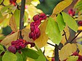 Magnolia × soulangeana 2014-10-12 02.jpg