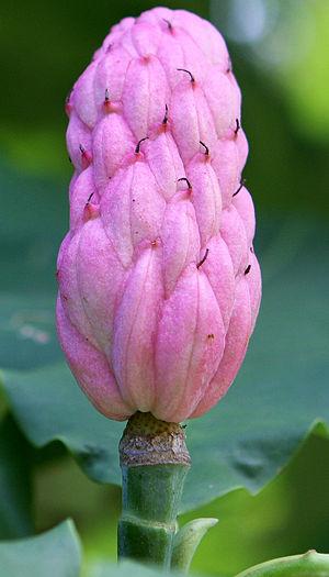 Magnolia tripetala - Image: Magnolia Tripetala fruit