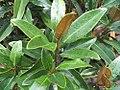Magnolia grandiflora Alta 1zz.jpg