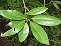 Magnolia virginiana 0zz.jpg