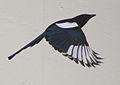 Magpie in Madrid (Spain) 67.jpg