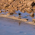 Magpie lark Burke River Boulia Queensland P1030965.jpg