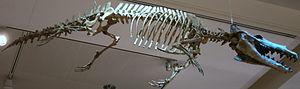 Protocetidae - Maiacetus