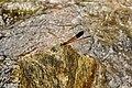 Malabar Torrent Dart from Valparai Anamalai hills DSC 2836.JPG