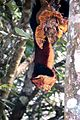 Malabar giant squirrel Periyar.jpg