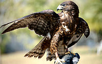 Male - black phase - short tail hawk.JPG