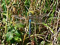 Male Emperor Dragonfly (Anax imperator), The Lizard - geograph.org.uk - 1160549.jpg