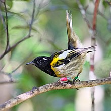 Male hihi (stitchbird) flicking up its tail feathers.jpg