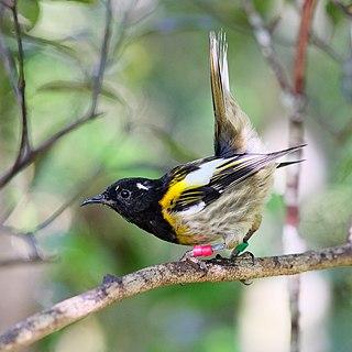 Stitchbird Species of bird