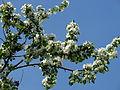 Malus kaido blossom 01.JPG