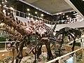 Mamenchisaurus mount at the IVPP.jpg