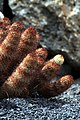 Mammillaria Elongata in Jardin de Cactus on Lanzarote, June 2013 (3).jpg