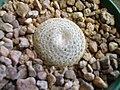 Mammillaria formosa spp. microthele (155085883).jpg
