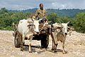 Man riding in Bullockcart near Ramnagar, Uttarakhand, India.jpg