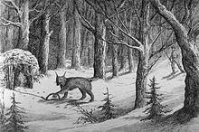 Capture de Lynx en Pyrénées dans LYNX 220px-Mani%C3%A8re_de_prendre_le_loup-cervier_au_Labrador