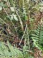 Marazion Marsh - Diastrophus rubi gall.jpg