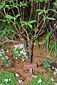 March 4, 2013 - Mid-Atlantic Region, Native Plant- Franklinia (8631969847).jpg