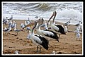 Margate Pelican Rescue- Pelican with hook-02 (6950697333).jpg