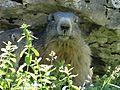 Marmotte en Vanoise (3).JPG