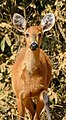 Marsh Deer (Blastocerus dichotomus) doe on the road ... (31639662516).jpg