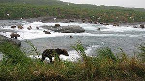 McNeil River - Congregation of brown bears (Ursus arctos) at McNeil River Falls