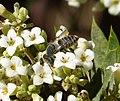 Megachilidae. Probably Megachile (Eutricharaea) pilidens female (33292135031).jpg