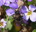 Melecta albifrons. Common Mourning Bee - Flickr - gailhampshire (4).jpg