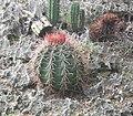 Melocactus caroli-linnaei.jpg
