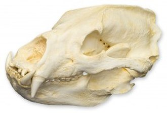 Sloth bear - Sloth bear skull: Note the lack of two upper incisors.