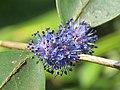 Memecylon umbellatum flowers at Peravoor (35).jpg