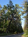 Memorial Oak in Sieczychy.jpg