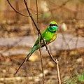 Merops orientalis, green Bee-eater.jpg