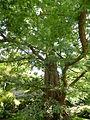 Metasequoia glyptostroboides-Jardin des Plantes 01.JPG