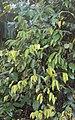 Meteoromyrtus wynaadensis 16.JPG