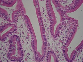 Brush border - Duodenum with brush border (microvillus)