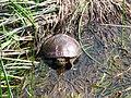 Midland Painted Turtle, Ottawa.jpg