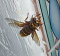 Milesia crabroniformis. Very large Hoverfly. - Flickr - gailhampshire.jpg
