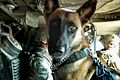 Military police dog and his police officer handler.jpg