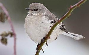 Tiny Grey Bird With White Ring Around Eyes