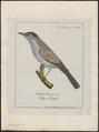Mimus carolinensis - 1700-1880 - Print - Iconographia Zoologica - Special Collections University of Amsterdam - UBA01 IZ16300329.tif