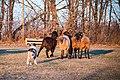 Miniature-american-shepherd-herding.jpg