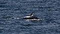 Minke whale 1 (6211086269).jpg