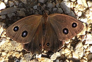<i>Minois dryas</i> Species of butterfly