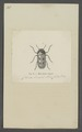 Miopristis - Print - Iconographia Zoologica - Special Collections University of Amsterdam - UBAINV0274 035 05 0013.tif