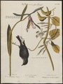 Mniotilta coronata - 1700-1880 - Print - Iconographia Zoologica - Special Collections University of Amsterdam - UBA01 IZ16300033.tif
