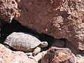Mojave Desert Tortoise (Gopherus agassizii) (6011951953).jpg