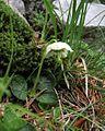 Moneses uniflora PID1584-2.jpg