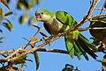 Monk Parakeet (Myiopsitta monachus) (28420470712).jpg