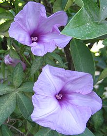 Morning Glory-1.jpg