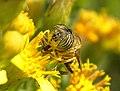 Mosca de las flores (ojos) - Eristalodes taeniops - Hover fly (269258951).jpg